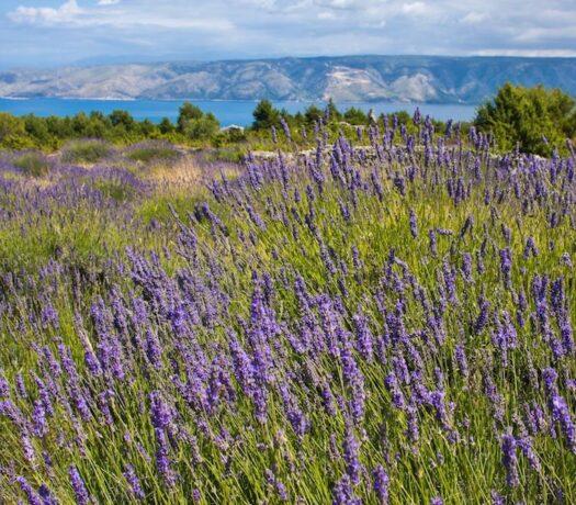 croatia driver guide - hvar lavender